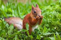 Красная белка (Sciurus) стоя на задних ногах и еде Стоковые Фото