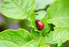 Красная большая личинка жука картошки Колорадо сидит на po стоковые изображения