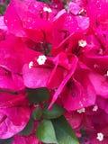 Красная бугинвилия с зелеными листьями Стоковые Изображения