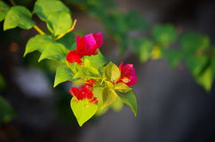 Красная ветвь Бугенвилья Стоковые Изображения RF