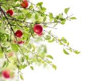 Красная ветвь сливы, изолированная на белизне Стоковое Изображение RF
