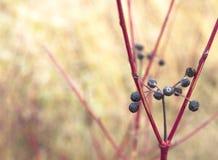 Красная ветвь Стоковые Фотографии RF