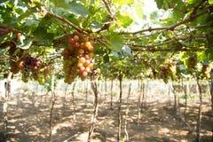 Красная виноградина на Вьетнаме Стоковые Изображения