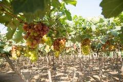 Красная виноградина на Вьетнаме Стоковые Фотографии RF