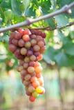 Красная виноградина на Вьетнаме Стоковое фото RF