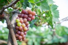 Красная виноградина на Вьетнаме Стоковая Фотография RF