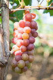 Красная виноградина на Вьетнаме Стоковые Фото