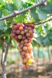 Красная виноградина на Вьетнаме Стоковая Фотография