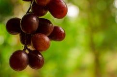 Красная виноградина Стоковые Изображения