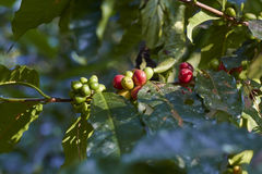 Красная вишня кофе на ветви макрос кофе завтрака фасолей идеально изолированный над белизной Стоковые Изображения