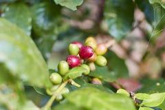 Красная вишня кофе на ветви макрос кофе завтрака фасолей идеально изолированный над белизной стоковое фото rf
