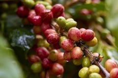 Красная вишня кофе на ветви макрос кофе завтрака фасолей идеально изолированный над белизной стоковое фото