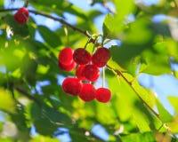 Красная вишня на ветви дерева в лете Стоковые Фотографии RF