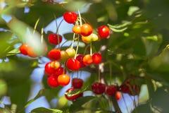 Красная вишня на ветви дерева в лете Стоковое Фото