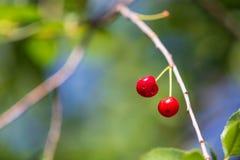 Красная вишня на ветви дерева в лете Стоковая Фотография