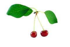 Красная вишня с листьями Стоковое фото RF
