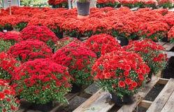 Красная в горшке хризантема цветет дисплей осени Стоковая Фотография RF