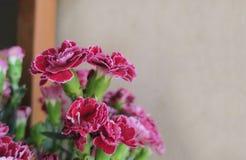 Красная гвоздика на предпосылке нерезкости стоковые фото