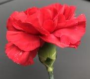 Красная гвоздика стоковое фото