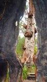 Красная гигантская полость дерева Tingle с взглядом Peekaboo: Долина Giants, западная Австралия Стоковая Фотография RF