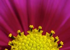 Красная голова цветка космоса Стоковые Фотографии RF