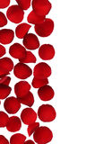 Красная граница розового лепестка на белой предпосылке Стоковое Изображение RF