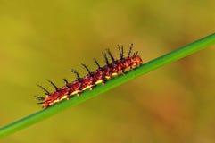 Красная гусеница на ветви стоковые изображения rf