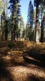 Красная древесина в Yosemite стоковое фото rf