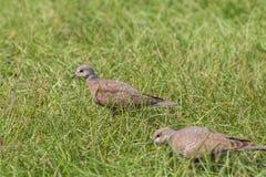 Красная еда поиска tranquebarica горлицы голубя черепахи Стоковые Изображения