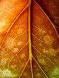 красная зеленая бегония лист на стрельбе макроса Стоковые Изображения