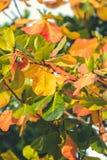 Красная, зеленая оранжевая предпосылка листьев осени Тропическая предпосылка листьев человека kuta острова bali городок захода со Стоковые Фотографии RF