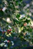 Красная зима ягод падуба Стоковые Фото