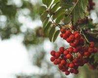 Красная зола горы на ветви, фото макроса с селективным фокусом осенняя красочная красная ветвь рябины красная зрелая ветвь ягоды  стоковые изображения