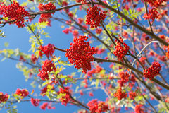 Красная зола горы Стоковое Фото