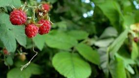 Красная зрелая сочная поленика в саде, большой сладкой ягоде поленики Выход поленики хорошая ягода для людей 4K 4k v сток-видео
