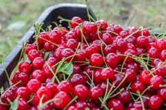 Красная зрелая кислая вишня Стоковая Фотография