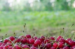 Красная зрелая кислая вишня Стоковое Изображение