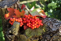 Красная зрелая ягода на ветви на stub я I Стоковая Фотография