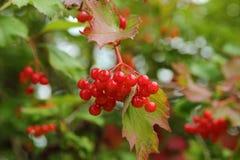 Красная зрелая ягода на ветви i Стоковые Изображения RF