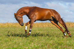 Красная игра лошади Стоковые Изображения RF