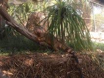 Красная игуана с силой дракона стоковое фото rf