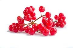 Красная изолированная группа ягод розы guelder Стоковое фото RF