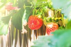 Красная изолированная клубника ягоды Стоковая Фотография RF