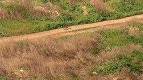 Красная лиса бежать на пути в поле видеоматериал