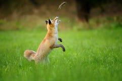 Красная лиса бросая преследовать мышь на зеленой траве Стоковые Фото