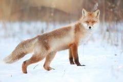 Красная лиса в лесе зимы Стоковое Изображение RF