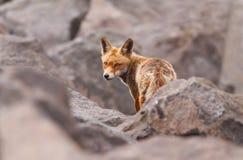 Красная лиса в утесах Стоковое Изображение