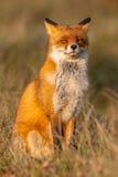 Красная лиса (лисица лисицы) сидя на задних ногах Стоковое Изображение