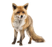 Красная лиса, лисица лисицы, стоя Стоковая Фотография