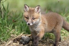Красная лиса, лисица лисицы Стоковая Фотография